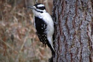 8 Species of Woodpeckers in Alabama (With Pictures)