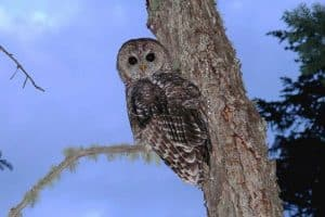 14 Owls in California (Detailed Pictures)
