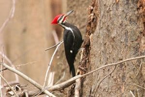 The 8 Species of Woodpeckers in Georgia(With Pictures)