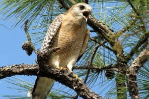 The 9 Species of Hawks in Missouri (Pictures)