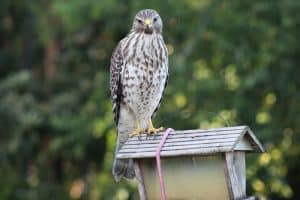 The 7 Species of Hawks in Kentucky