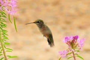 The 4 Common Hummingbirds of Colorado