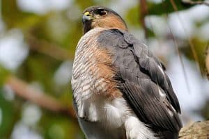 15 Cool Facts About Sharp-shinned Hawks