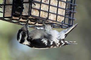 Best Suet Feeders For Woodpeckers (6 Great Choices)