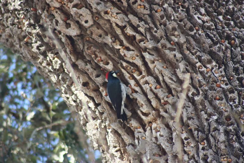 Woodpecker stashing acorns in the bark of a tree