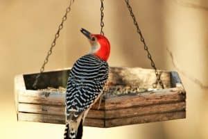 Woodpeckers in Kansas (8 Species With Pictures)