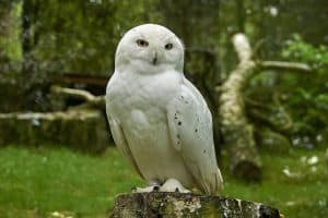 31 Quick Facts About Snowy Owls