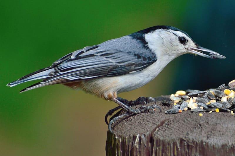Backyard Birds in Michigan (25 Species With Pictures ...