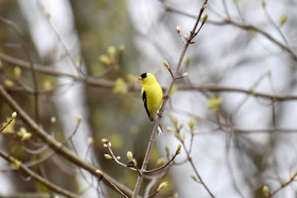 Learn How to Attract Goldfinches With These 6 Tips