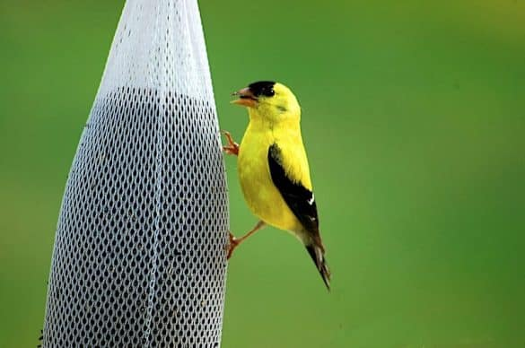 Best Goldfinch Feeders (Top 5 in 2020)