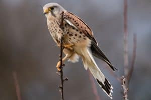 Falcons in Pennsylvania (3 Species With Pictures)