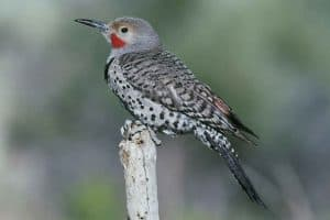 9 Species of Woodpeckers in New York
