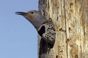 Woodpeckers in Alaska (7 Species)