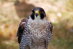 Falcons in Georgia (3 Unique Species)