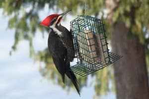 7 Woodpeckers in Massachusetts (With Pictures)