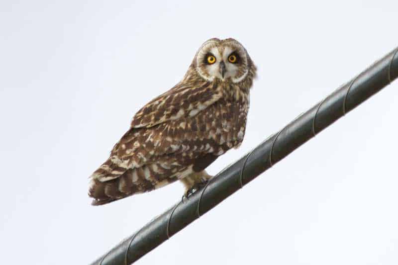 The 2 Species Of Owls In Hawaii - Bird Feeder Hub