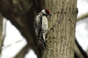 7 Species of Woodpeckers in Pennsylvania