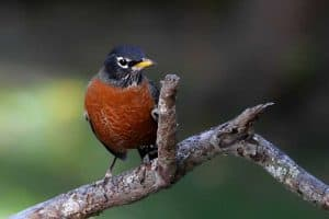 25 Interesting Facts About American Robins