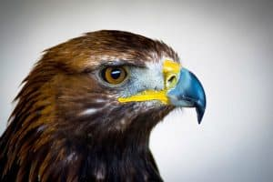 2 Common Eagles of North America (And 2 Uncommon)