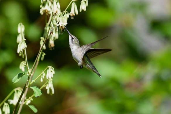 Hummingbirds In Florida (Common and Rare)