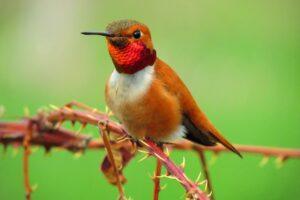 13 Hummingbirds in California (Common & Rare)