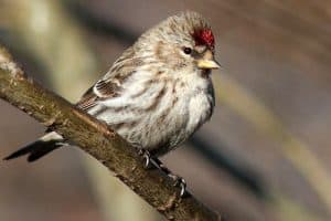 The 10 Species of Finches in Michigan