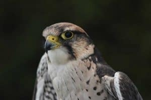 4 Species of Falcons in Florida (With Pictures)