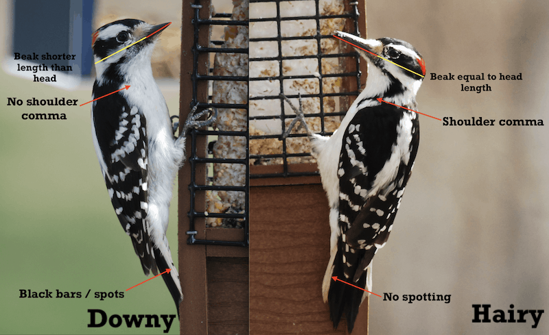 Side by Side phots comparing Downy and Hairy woodpecker