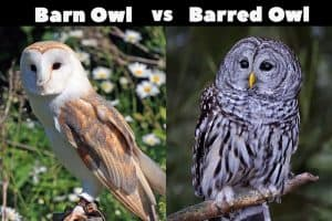 Barn vs Barred Owl (Key Differences)