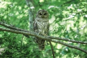 Owls in Louisiana (8 Species With Pictures)