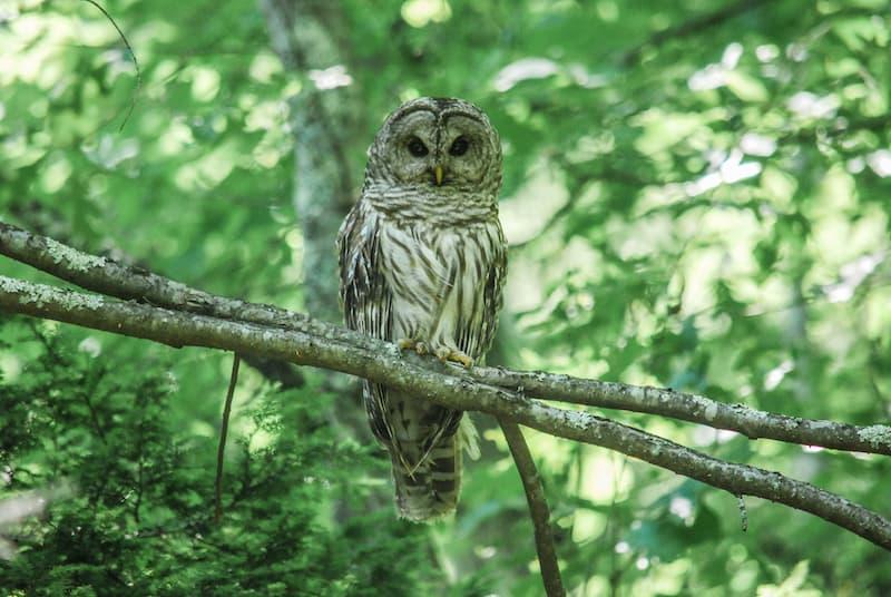 Owls In Louisiana 8 Species With Pictures Bird Feeder Hub