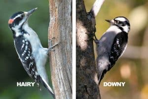 Downy vs Hairy Woodpecker (8 Differences)