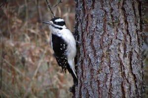 Woodpeckers in Arkansas (Pictures of 7 Species)