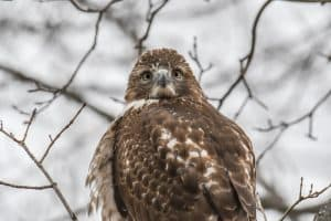 8 Types of Hawks in New York (With Pictures)