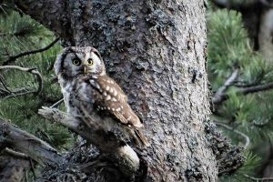 Owls in Alaska (9 Species With Pictures)