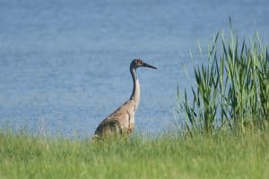 Sandhill Cranes (Facts, Info, Pictures)