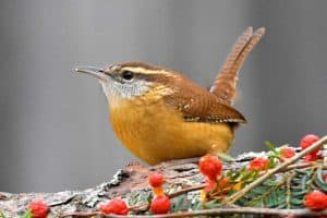 25 Backyard Birds in Tennessee (Pictures & Facts)