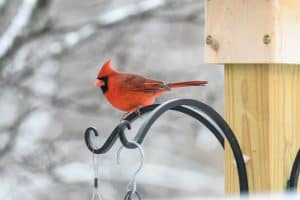 How to Attract Cardinals (12 Simple Strategies)