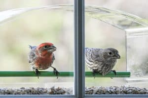What is House Finch Eye Disease?