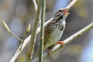 Types of Sparrows (17 Examples)
