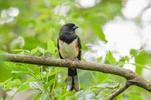 18 Interesting Facts About Eastern Towhees