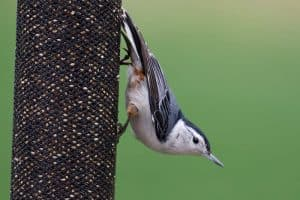 25 Different Backyard Birds in Illinois (Pictures & Facts)