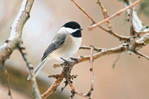 Backyard Birds in Indiana (26 Common Species)