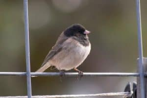 26 Backyard Birds In Oregon (Pictures & Facts)