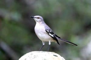 26 Backyard Birds in Ohio (Pictures & Facts)