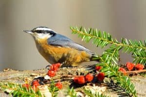 26 Backyard Birds in Maine (Pictures & Facts)