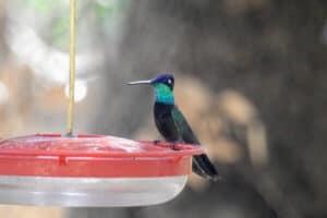 17 Hummingbirds in Arizona (Common & Rare)