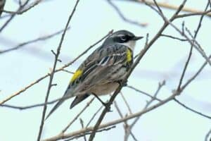 Backyard Birds In Mississippi  (27 Species with Pictures)