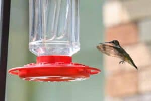 5 Hummingbirds in Massachusetts (Common & Rare)